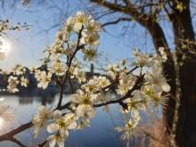 Blühender Baum am Mainufer Kitzingen